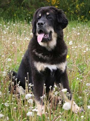 I wanna Tibetan mastiff sooo badly. Such a pretty dog. Time to start saving my money for one cause they cost a pretty penny.