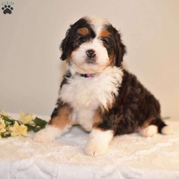 Lexie Mini Bernedoodle Puppy For Sale In Ohio Bernedoodle Puppy Bernedoodle Puppies For Sale