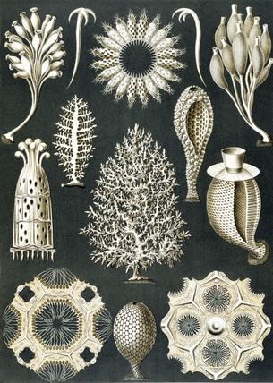 "Ernst Haeckel's ""Kunstformen der Natur"" (Artforms of nature) (1904). https://commons.wikimedia.org/wiki/Kunstformen_der_Natur With zoom:"