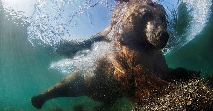 """O primeiro lugar na categoria Internacional Grande Angular foi obtido por Mike Korostelev por esta foto feita no lago Kuril, na Rússia. """"Eu construí uma jaula para ficar protegido enquanto fotografava o urso pescando"""", disse ele"""