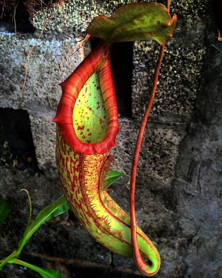 Twist - Nepenthes 'miranda' #nepenthes #carnivorousplants #plantascarnivoras #pitcherplants #nature #botanical #garden #plants by ricardodeycaza