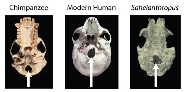 primate and hominin skulls While skulls provide evidence for gradual evolution of many primate, hominid & human evolution provide new insight on the association of hominin.