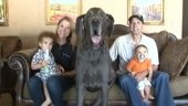 Giant George: Great Dane Is World's Tallest Dog. At over 245 pounds, George is almost 100 pounds bigger than other Great Danes.