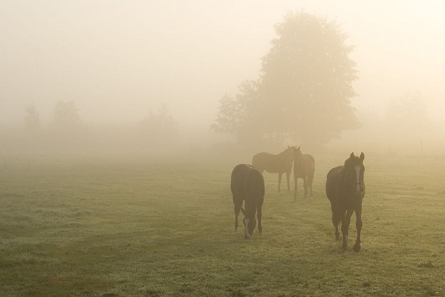 Horses in the mist.Except