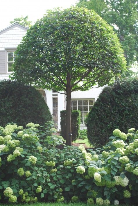 Given enough time, the taxus viridis will completely frame the trunks of the lindens. Front planting Annabelle hydrangeas.