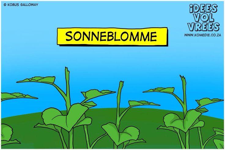 Sonneblomme
