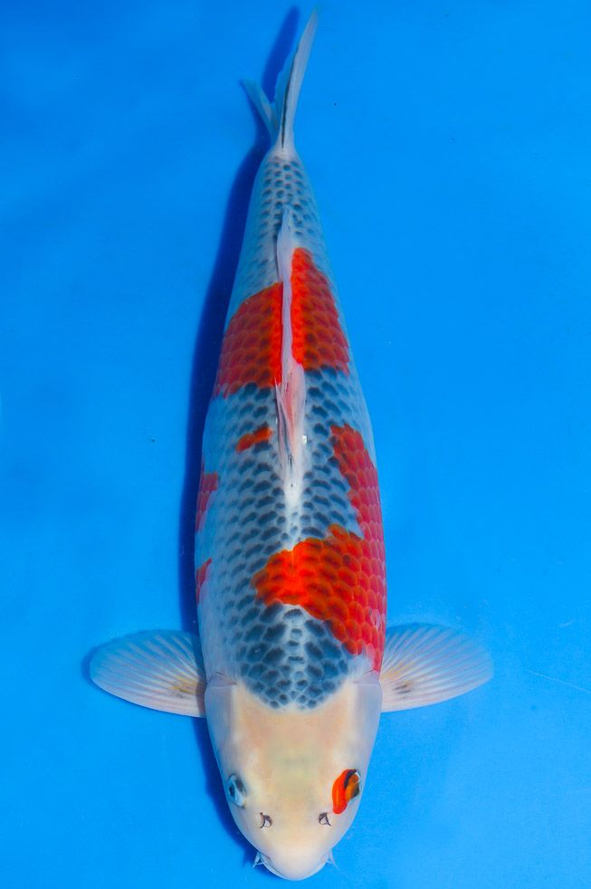 17 best images about koi name on pinterest the head for Koi carp names