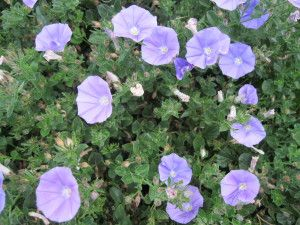 Convolvulus sabatius | Sloat Garden Center