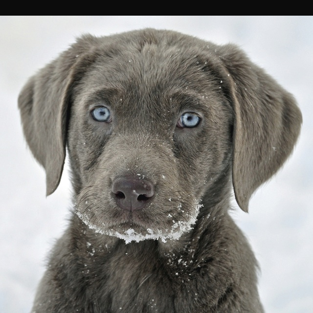 Silver Lab puppy.... Oh those blue eyes