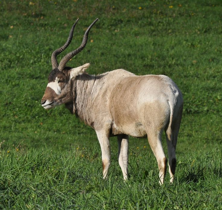 Addax Pictures Description Addax (Addax nasomaculatus