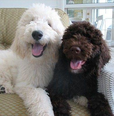 Goldendoodles English Goldendoodle Puppy Breeder - Goldendoodle Puppies For Sale - Moss Creek Goldendoodles #bigdogs
