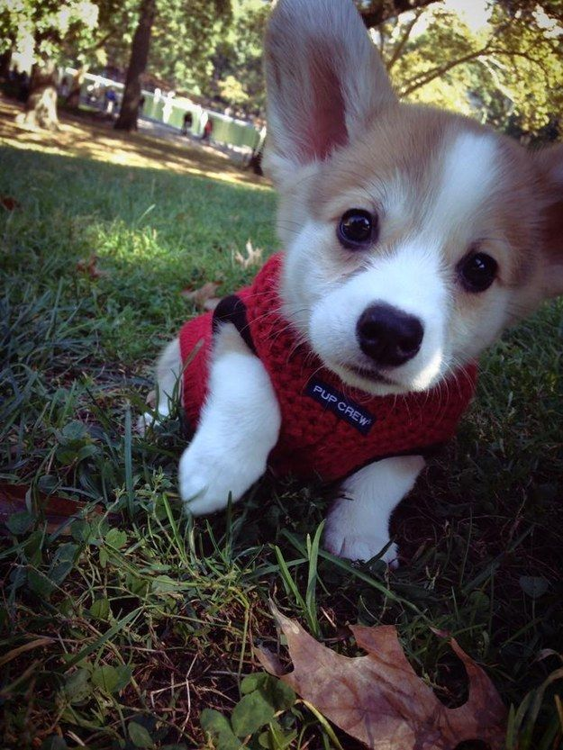 This teeny corgi puppy with the most adorable ears in the ENTIRE WORLD.