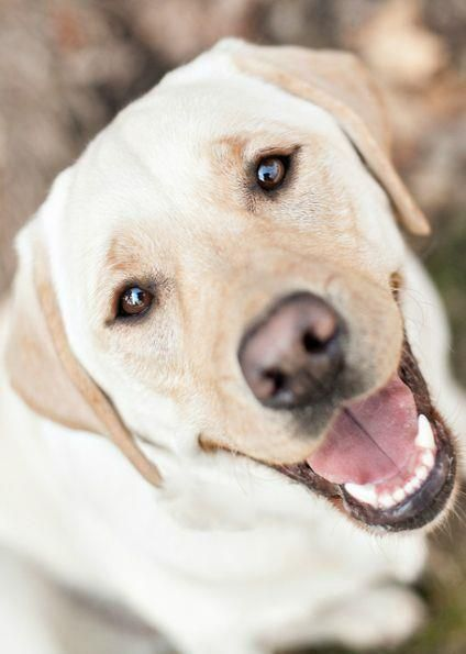 Happy Yellow Lab                                                                                                                                                                                 More