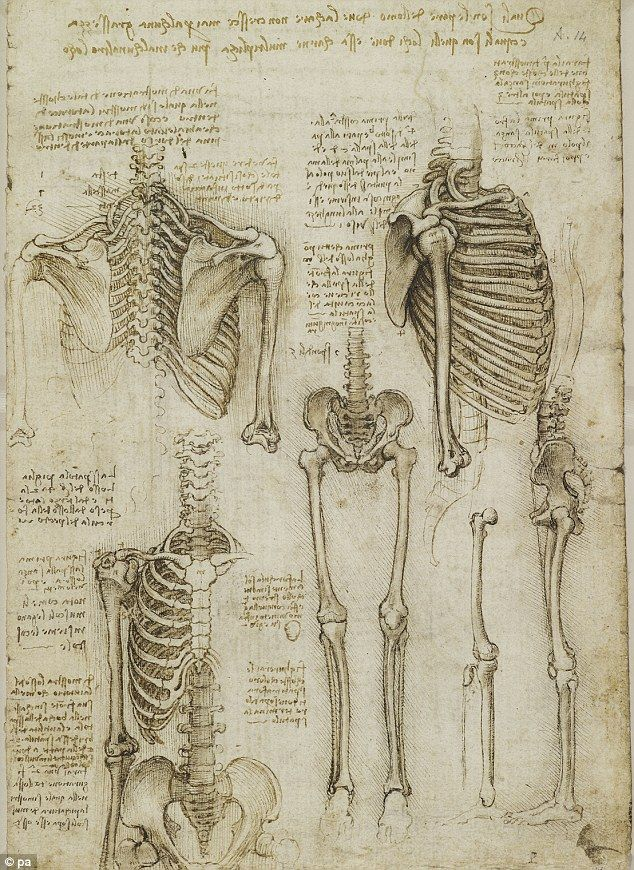 Detailed: Da Vinci's sketches of muscles and skeletons