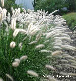 Pennisetum alopecuroides Cassian in front of dragon lady holly