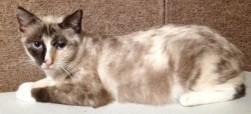 Tails With Sassy * Cat • Siamese • Adult • Female • Medium Kansas City Siamese…