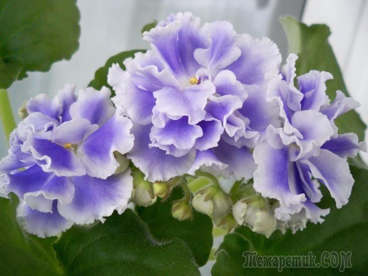 Секреты цветения фиалок зимой
