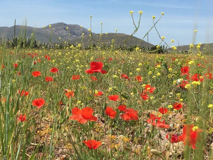 Field of poppies near San Jose, Almeria, Spain.