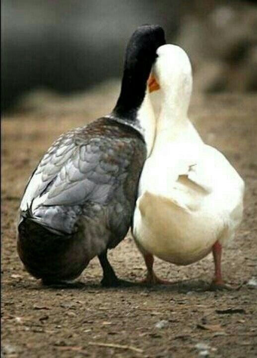 """* * DUCK ON LEFT: """" Based on a troo story? Me woulds rather haz it 'based on a troo imagination.' """""""