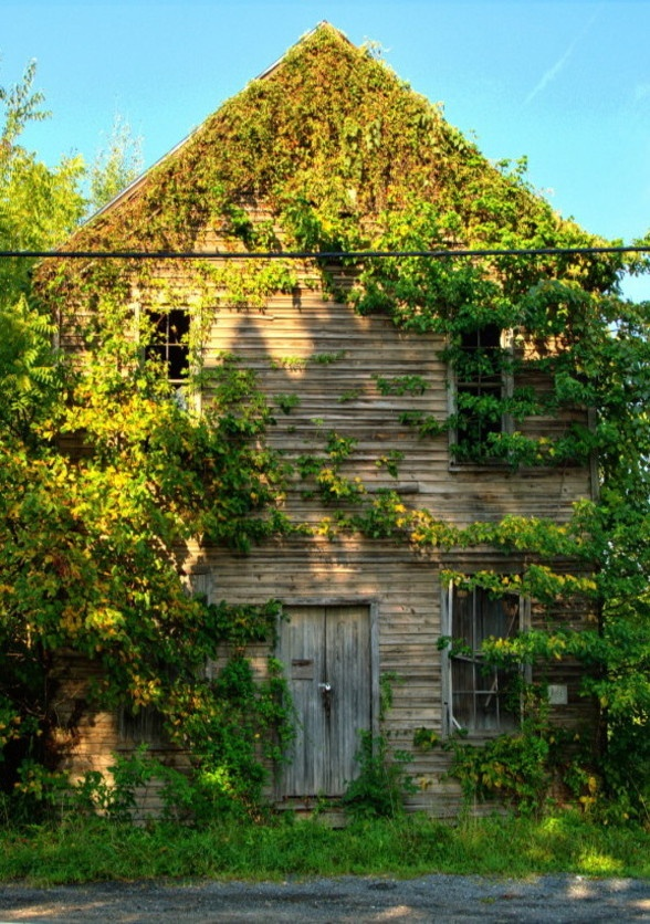 Barn Covered By Vines