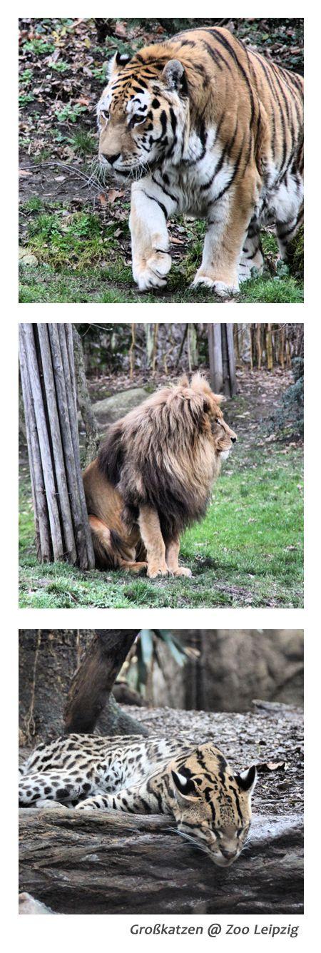 Großkatzen im Freigehege im Leipziger Zoo #Ausflug #Leipzig #Familie #Ferien