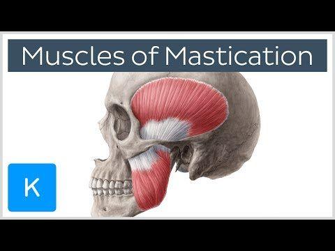 Muscles de la Mastication