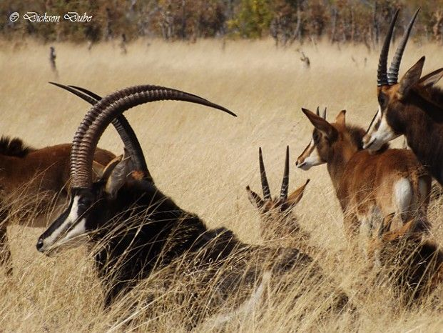 Herd of sable including young and a majestic male #Zimbabwe #Safari