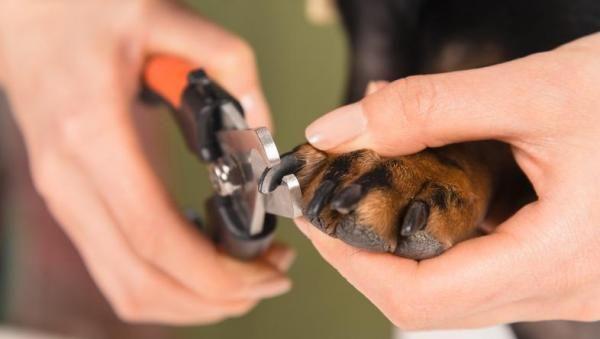 Dicas para cortar as unhas a um cachorro em casa. Manter as unhas de um cachorro em perfeitas condições vai mais além da estética, trata-se de um tema de saúde que pode evitar o aparecimento de feridas nas suas pata...