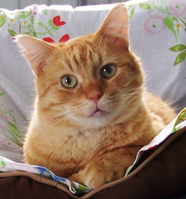 Adopt Indy Super Sweet On Orange Tabby Cats Cats I Love Cats