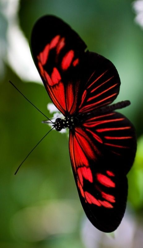 This butterfly is truly a red and black breathtaking beauty! Isn't Nature incredible with her paintbrush?