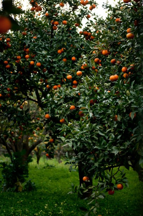 Orange Tree...fruit of the earth