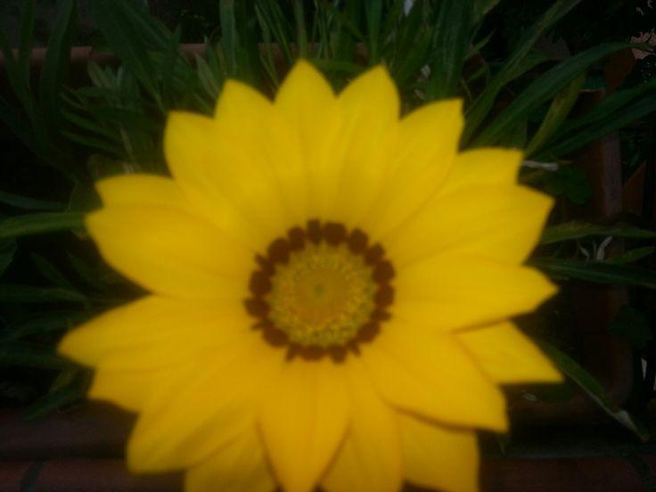 Margherita gialla