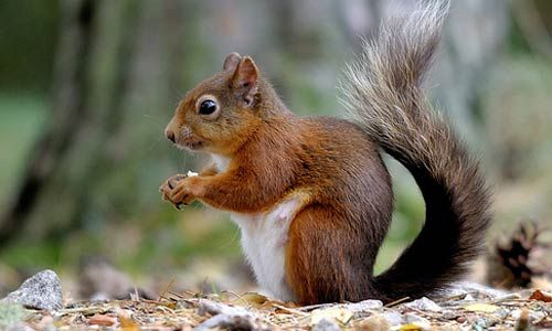 squirrel | Red Squirrel Facts | Red Squirrel Habitat & Diet