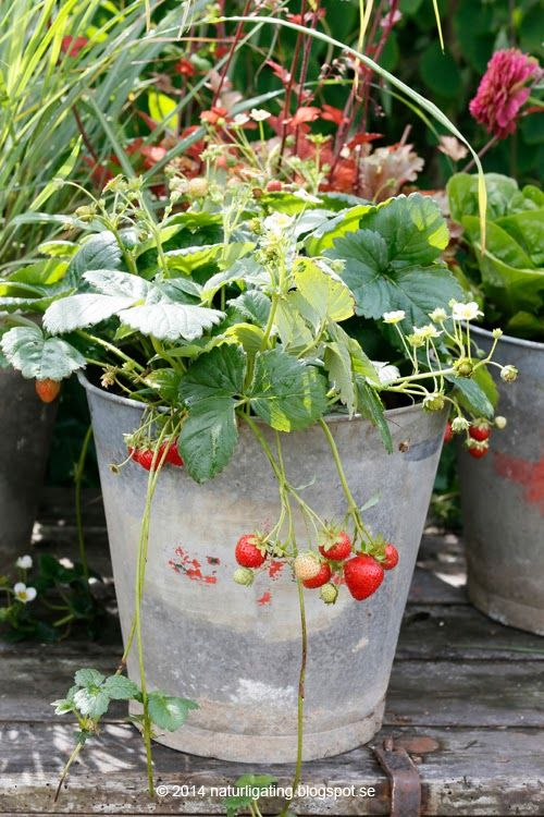 Galvanized Bucket & Strawberries