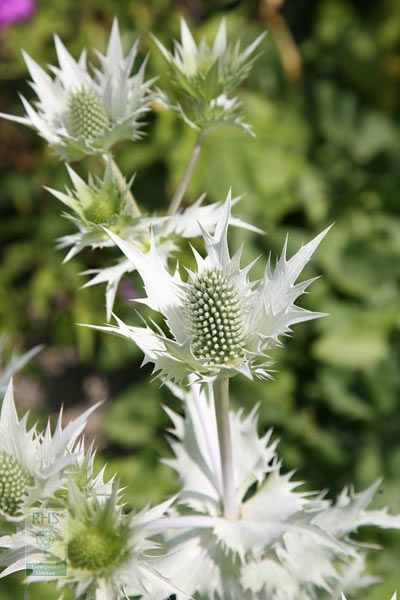 giant sea holly Eryngium giganteum 'Silver Ghost'Position: full sun Soil: dry, well-drained, poor to moderately fertile soil Rate of growth: average Flowering period: June and August Flower colour: steel-blue flowers surrounds by silvery white bracts Other features: ideal for use in dried flower arrangements Hardiness: fully hardy