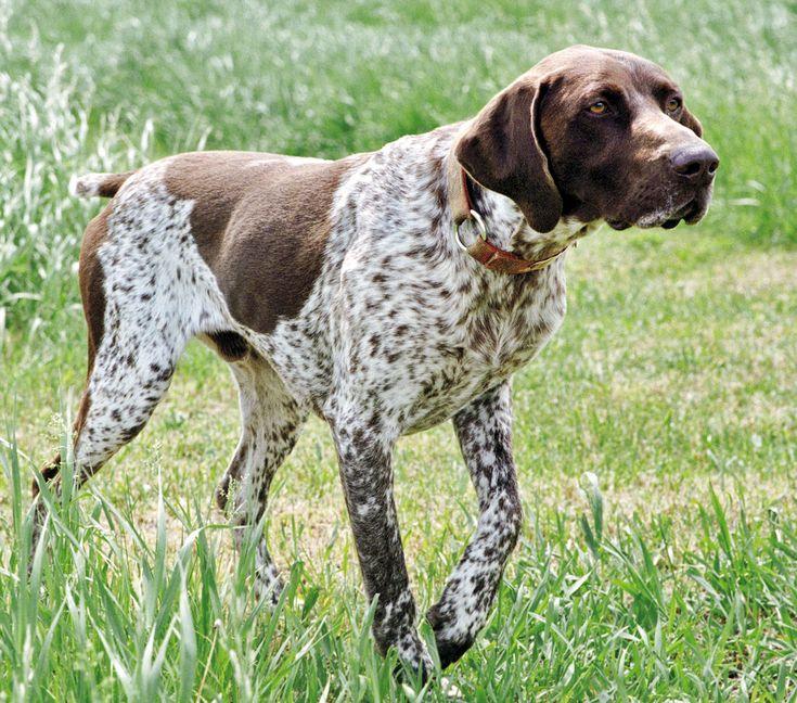 M s de 1000 ideas sobre braco alem n de pelo corto en - Es malo banar mucho a los perros ...
