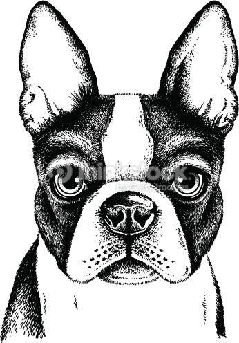 Clipart vectoriel : Terrier de Boston visage