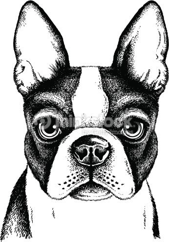 Clipart vectoriel : Terrier de Boston visage