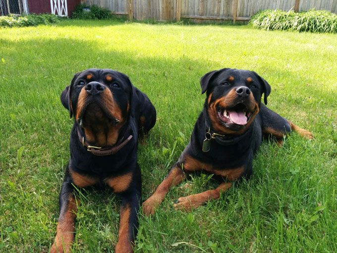 Rottweiler Dog Breed Information Pictures Characteristics