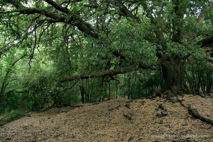 Ilice di pantano, il più grande ed antico leccio dell'Etna, visitabile al confine tra i territori tra Milo e zafferana Etnea