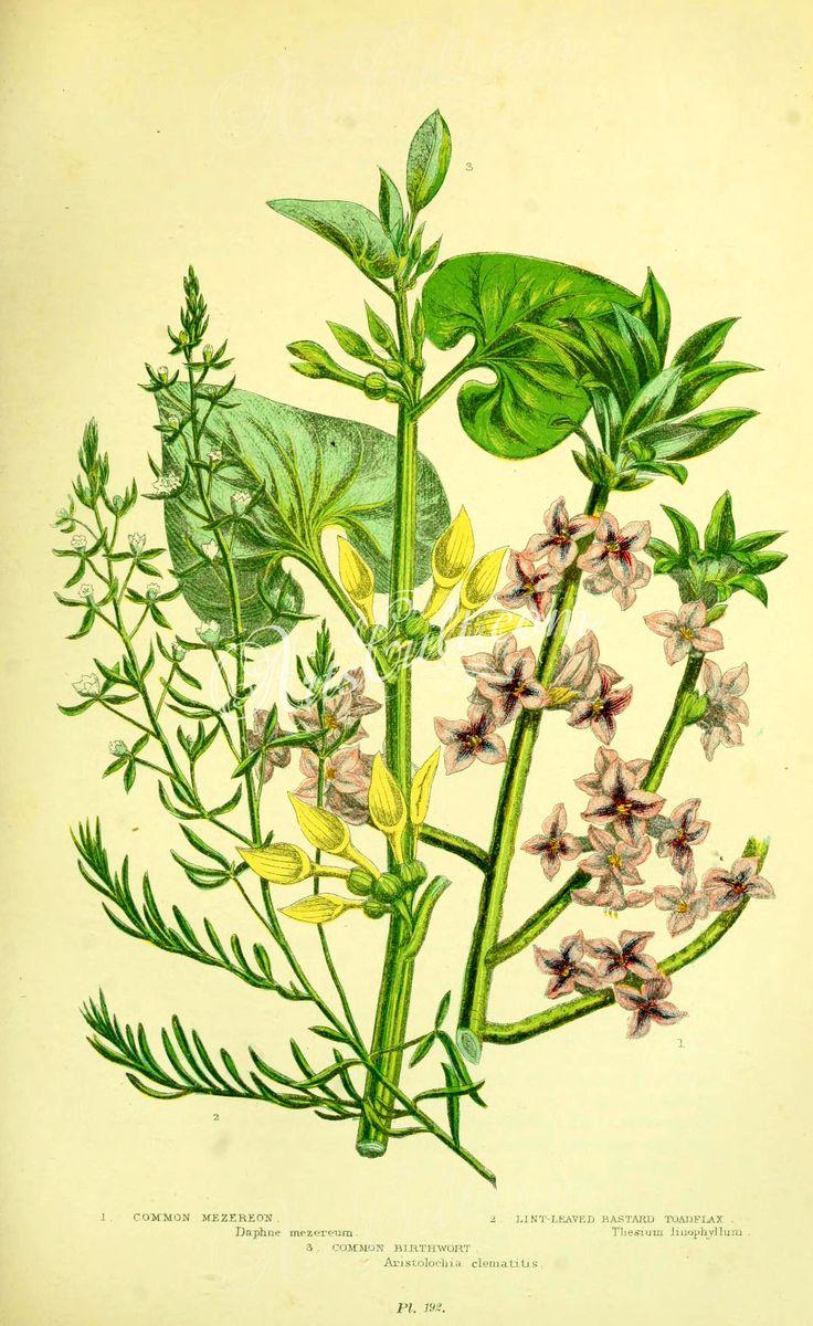032-Common Mezereon, Lint-leaved Bastard Toadflax, Common Birthwort, daphne mezereum, thesium linophyllum, aristolochia clematitis      ...
