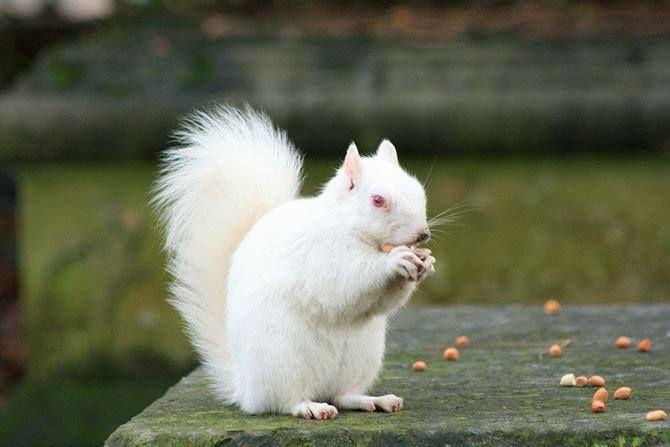 Ritka mint a fehér mókus!