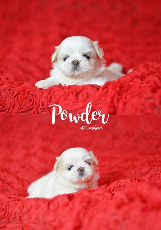 Pure White Shih Tzu Puppy Philippines With Images Shih Tzu