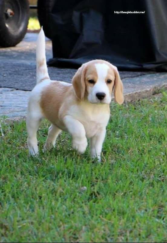 LEMON & WHITE BEAGLE PUPPY | Sunderland, Tyne and Wear ...  |Lemon Beagle Puppies