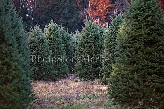 Christmas Tree Farm New England Evergreen Photography Etsy Christmas Backdrops Christmas Tree Farm Tree Farms