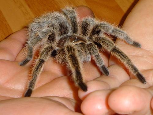 wikiHow to Pick a Pet Tarantula -- via wikiHow.com