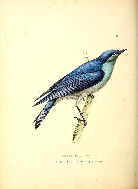 bird, sialia arctica
