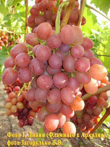 Ливия - виноград