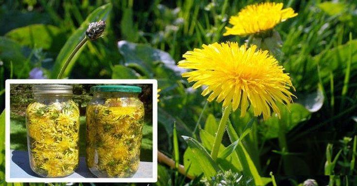 Păpădia a fost o plantă populară de mii de ani, și proprietățile sale medicinale au fost utilizate în tratamentul diferitelor boli și condiții de sănătate. Detoxifica ficatul, stimulează producția de bilă, regleaza nivelul de colesterol, trateaza alergiile, si este de mare ajutor pentru femeile g