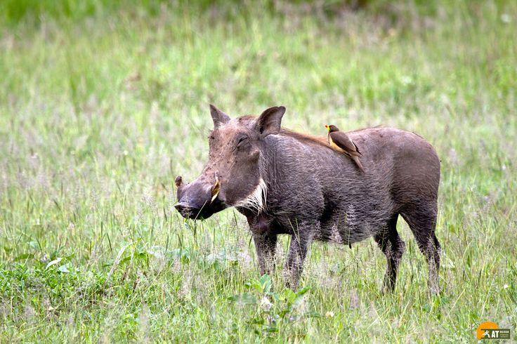 #Tansania #Safari #Warzenschwein